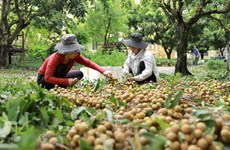 Webinar explores longan export opportunities