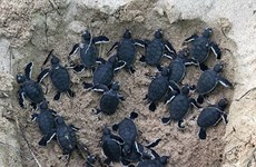 Binh Thuan: 45 baby turtles released to sea