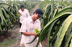 Long An strives to have 3,000 ha of dragon fruit farms under VietGAP