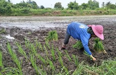 Thailand's rice strategy to focus on yield, variety