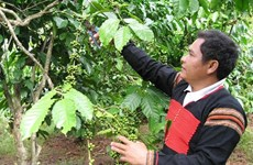 36,000 ha of coffee sustainably grown in central highlands under VnSAT project