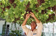 Ninh Thuan province develops superior grape variety