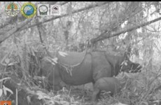 Two endangered Javan rhino calves spotted in Indonesia