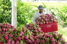 Geographical indication helps Binh Thuan dragon fruit conquer foreign markets