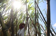 Opportunities await sugarcane farmers if they change way of thinking