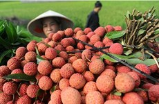 Hai Duong's lychee, longan export successful beyond expectation