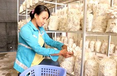 Mushroom farming brings prosperity in Bac Ninh