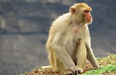 Vietnam tests COVID-19 vaccine on monkeys