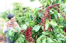 Central Highlands faces labour shortages on coffee plantations