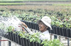Mekong Delta prepares flowers for upcoming Tet