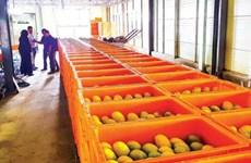 Cambodia ships first batch of fresh mangos to China