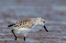 Endangered migratory bird species found in Da Nang