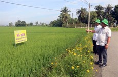 Mekong Delta district to grow only high-quality rice