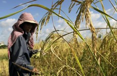 Cambodia's wet season rice yield expected to reach 8.5 million tonnes