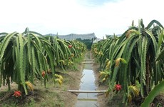 Long An expands organic dragon fruit cultivation