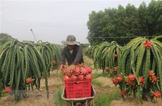 First dragon fruit lot exported to China in new Lunar Year