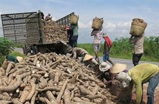 Exports of cassava, by-products surge since new year