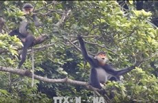 Quang Nam to expand habitat of grey-shanked douc langur