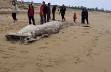 Dead whale washed up on beach in Quang Binh