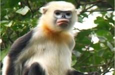 Ha Giang forest rangers work to preserve Tonkin snub-nosed monkeys