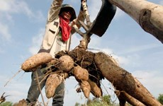 Cambodia's cassava prices increase over lower yield