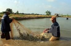 Ca Mau moves to expand world-standard shrimp farming