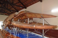 Largest whale skeleton on display in Binh Thuan