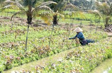 Tien Giang expands crop-rotation cultivation, improves productivity