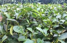 Tea exports see bright spot in January-February
