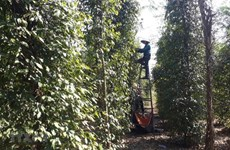 Public, private sectors partner to boost sustainable peppercorn industry