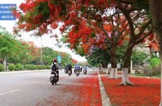 Hai Phong's Flamboyant Festival to draw tourists
