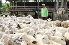Ninh Thuan raises baa for sheep farming