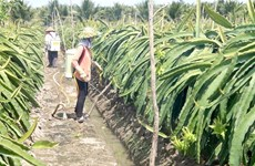 Tien Giang to produce more dragon fruit as part of climate-change adaptation plan
