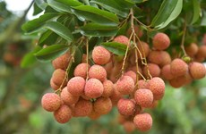 Over 3,600 tonnes of fresh lychees shipped to China via Lao Cai's int'l border gate