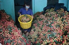 Promotional activities to boost exports of lychees to Japan