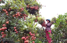 """Hai Duong enjoys good sale of """"thieu"""" lychee on e-commerce platforms"""