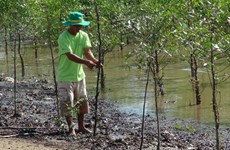 Tra Vinh: Shrimp-breeding in mangroves protects forest coverage, offers stable income