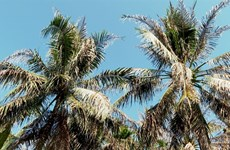 Country's largest coconut growing province manages to control imported pest