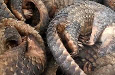 Man jailed for storing 780 kg of African pangolin scales