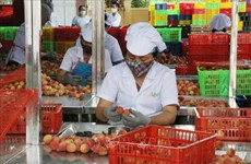 Hai Duong: Over half of estimated lychee output sold before main-crop harvest