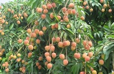 Teleconference discusses consumption of Bac Giang lychees