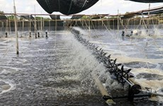 Ben Tre's shrimp sector targets production value of 1 billion USD by 2025