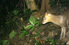 Thua Thien-Hue: Endangered muntjacs spotted in Phong Dien Nature Reserve