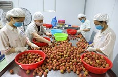 Bac Giang earns over 296 million USD from lychee sales in 2021 crop