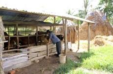 Soc Trang develops cattle farming