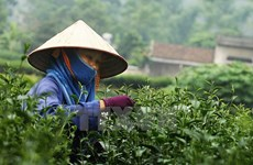 Thai Nguyen tea strives to access global market