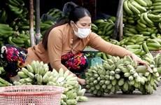 Ca Mau works to increase banana value, output