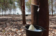 Malaysia's rubber exports soar in first half