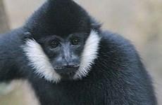 Vu Quang national park offers home for rare gibbon
