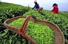 Vietnam's tea exports to Australia surge